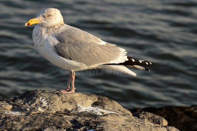 Gull standing on the Atlantic Ocean inlet jetty. The Gull was standing in the sun on top of the inlet rocks on a cold winter morning. The Gulls are scavengers royalty free stock photo