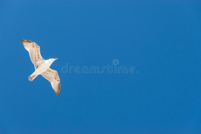 Gull vlieg in heldere blauwe lucht stock foto's