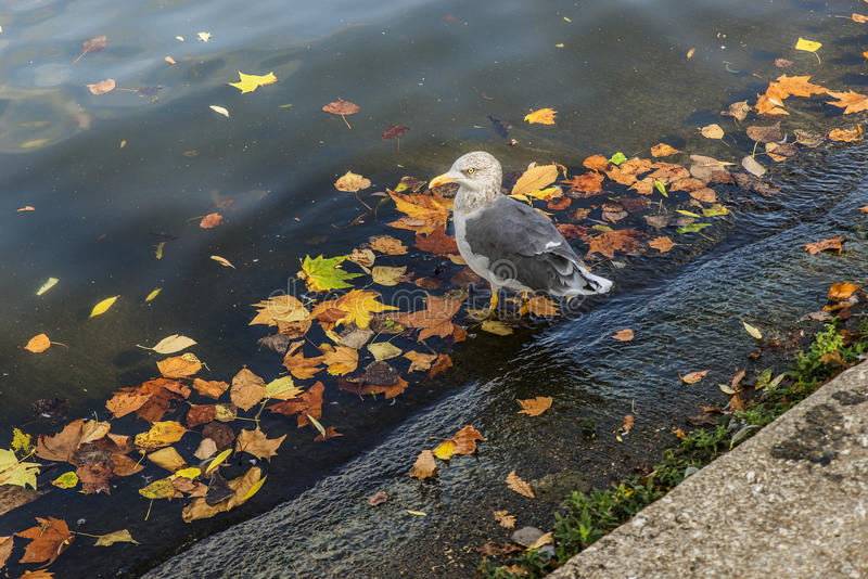Gull in the water with autumn leaves stock images