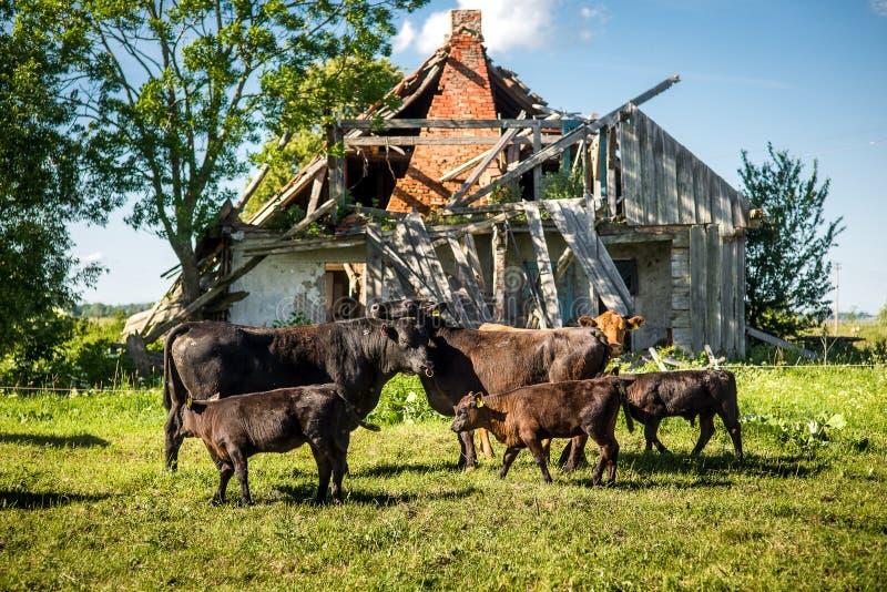 Gullig älskvärd angus kofamilj framme av den gamla eftersatta lantgården på gräs i solig dag arkivfoto