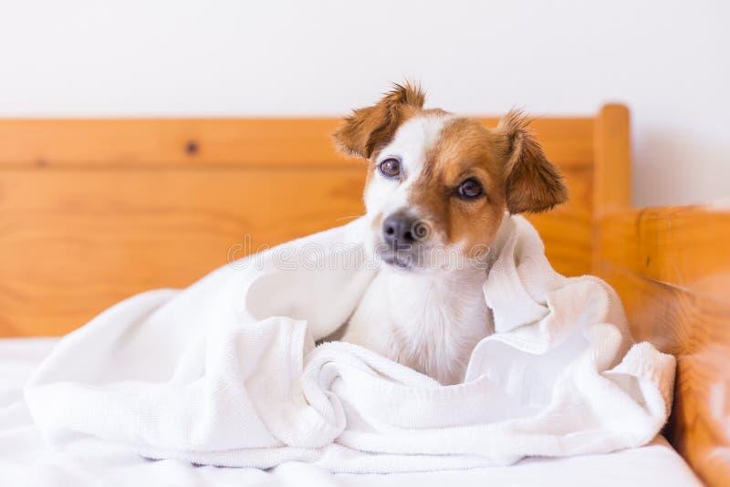 gullig älskvärd liten hund som får torkad med en vit handduk i badrummet utg?ngspunkt inomhus royaltyfria bilder