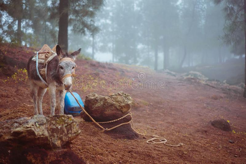Gullig åsna som från sidan står nära pinjeskogen på den tidiga dimmiga morgonen som är klar att arbeta royaltyfri foto