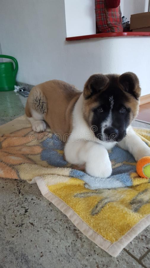 Gullig amerikan Akita Inu Puppy royaltyfria bilder