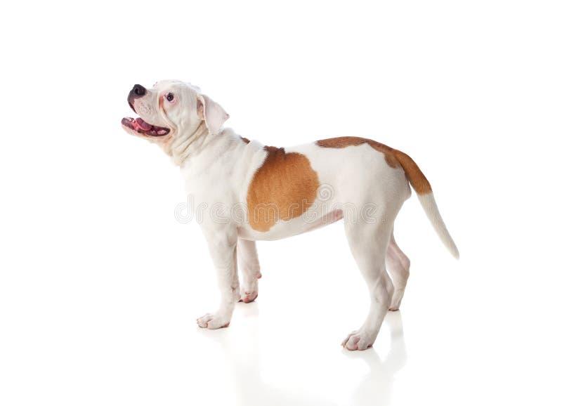 Gullig amerikanbulldogg arkivbilder