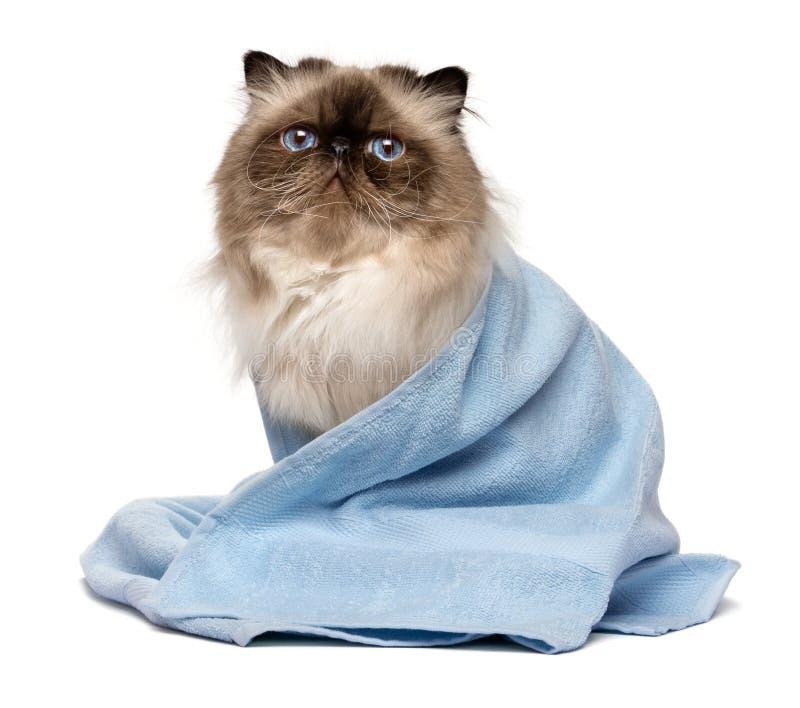 Gullig ansad persisk skyddsremsacolourpointkatt med en blå handduk arkivfoton