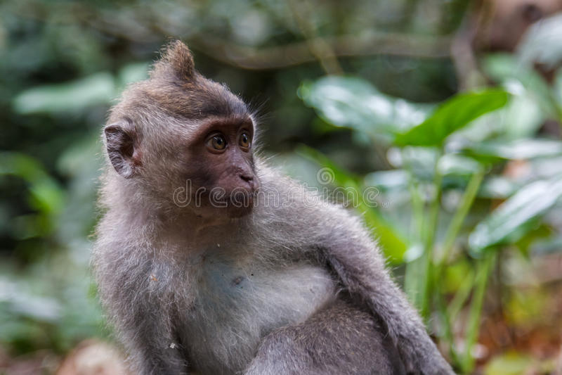 Gullig apa i apan Forest Park på den Bali ön arkivbilder