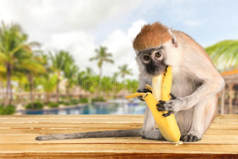 Gullig apa med bananen på ljus bakgrund royaltyfria foton