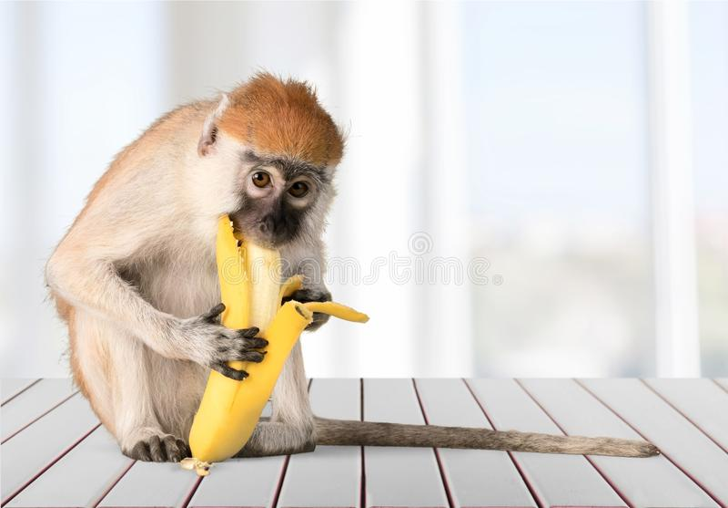 Gullig apa som äter banandjuret på suddigt arkivfoto