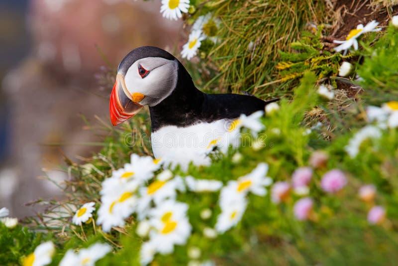 Gullig atlantisk lunnefågel i Island arkivbild