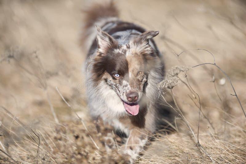 Gullig australisk herdehund royaltyfri foto