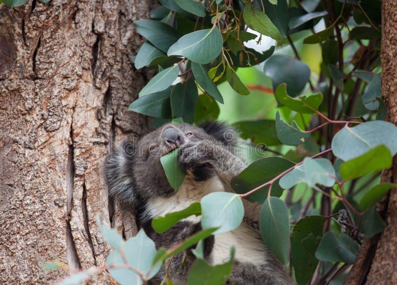 Gullig australisk koala f?r st?endelitlle som sitter i ett eukalyptustr?d och ser med kuriositet K?nguru? fotografering för bildbyråer