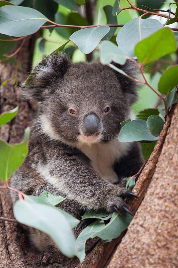 Gullig australisk koala f?r st?endelitlle som sitter i ett eukalyptustr?d och ser med kuriositet K?nguru? arkivfoton