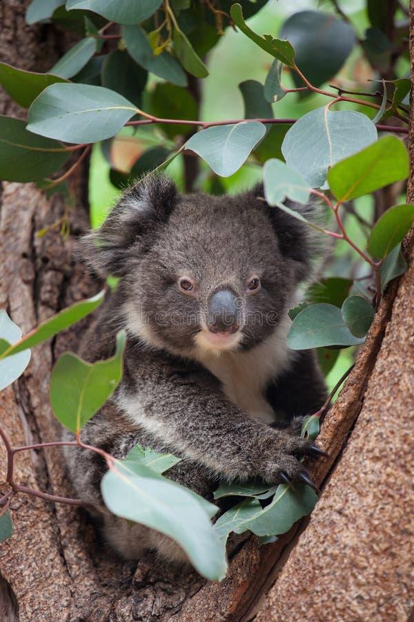 Gullig australisk koala f?r st?endelitlle som sitter i ett eukalyptustr?d och ser med kuriositet K?nguru? royaltyfria bilder