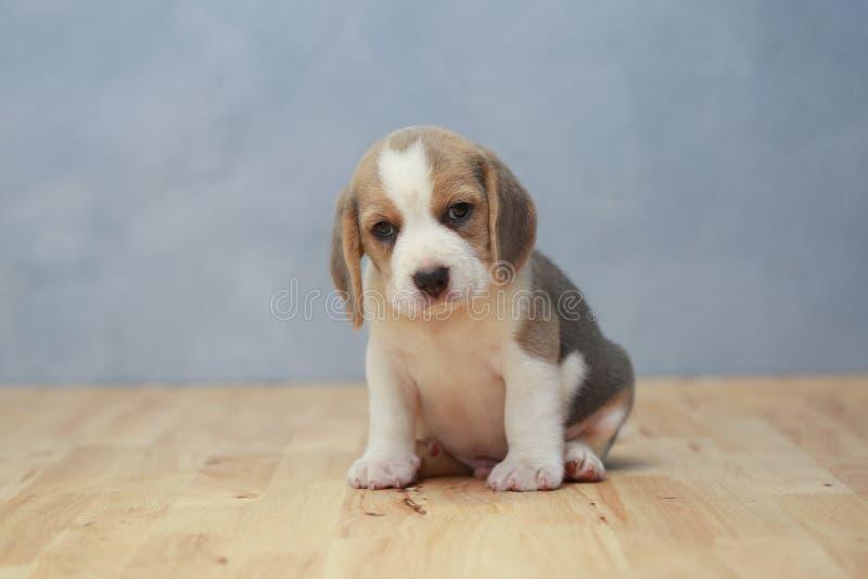 Gullig beaglevalp i handling arkivbilder
