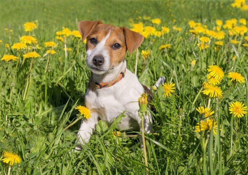 Gullig beaglevalp på blommande maskrosäng royaltyfri foto