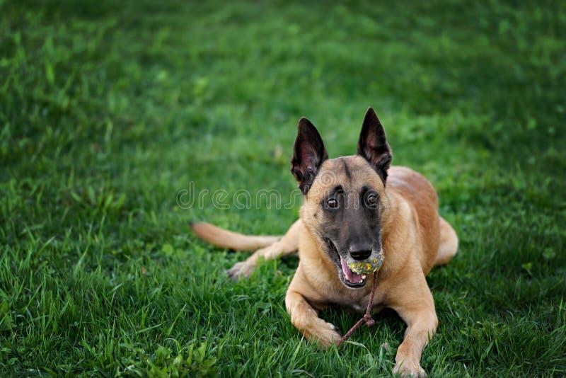 Gullig belgisk herde Dog, stående i sommar royaltyfria bilder