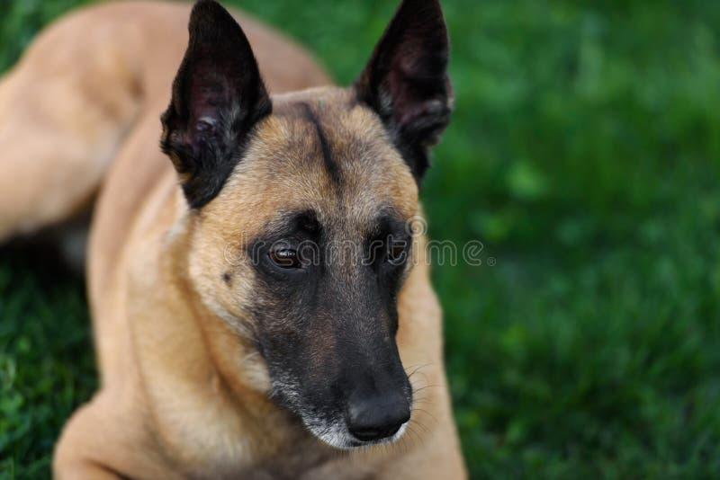 Gullig belgisk herde Dog, stående i sommar fotografering för bildbyråer