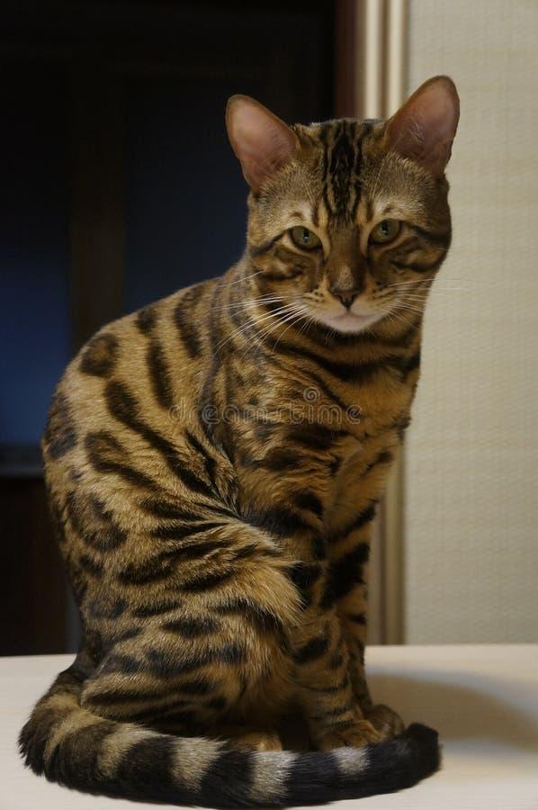 Gullig bengal katt som sitter på tabellen royaltyfri fotografi
