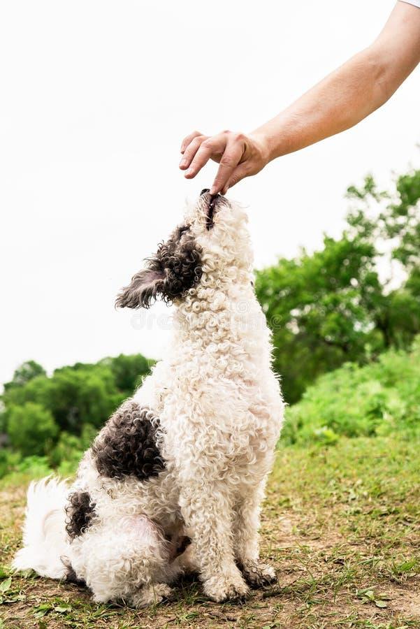 Gullig Bichon Frise hund som sitter på utbildning för grönt gräs med ägaren royaltyfri foto