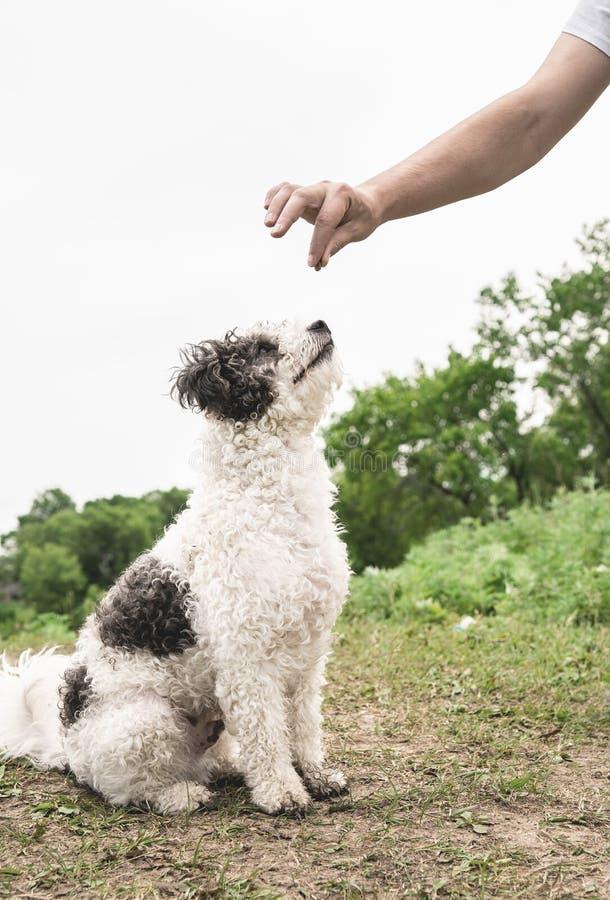 Gullig Bichon Frise hund som sitter på utbildning för grönt gräs med ägaren royaltyfria foton