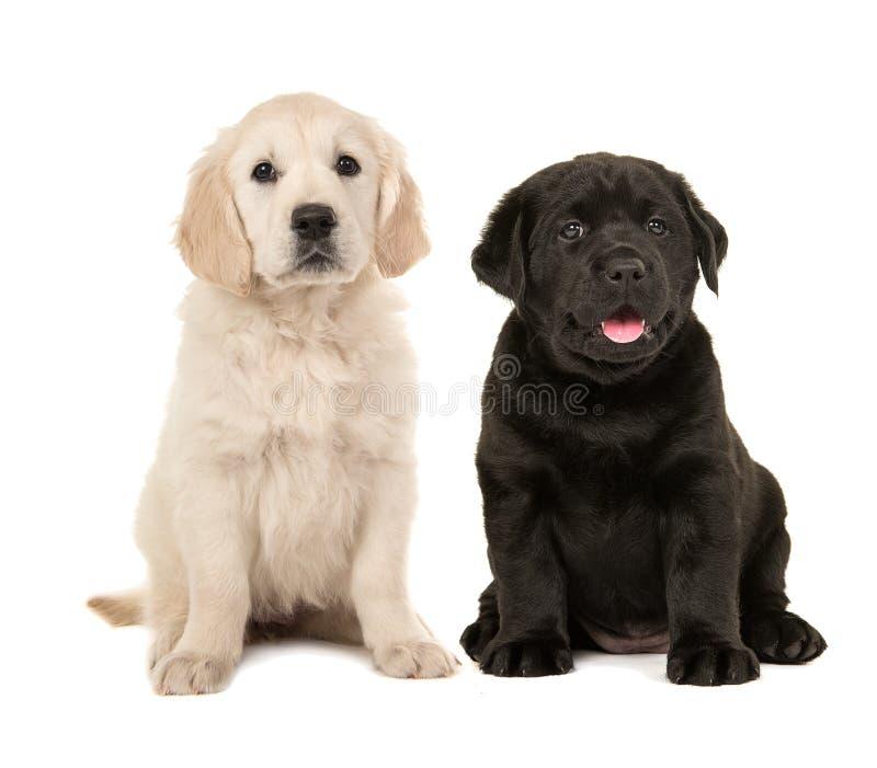 Gullig blond golden retriever och svart labrador retriever valp arkivfoton