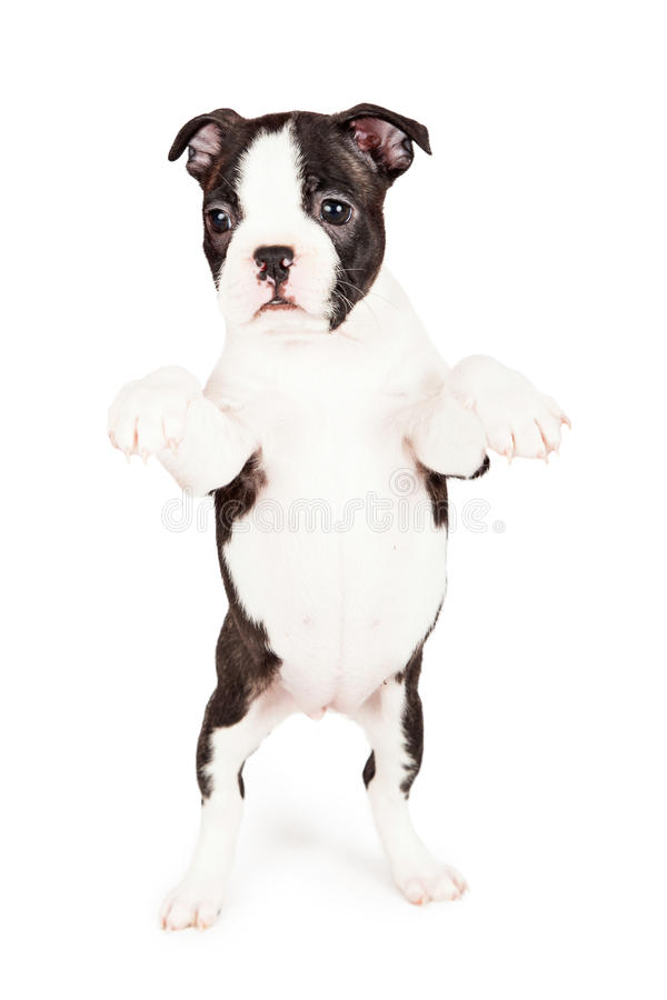 Gullig Boston Terrier valptiggeri royaltyfria foton