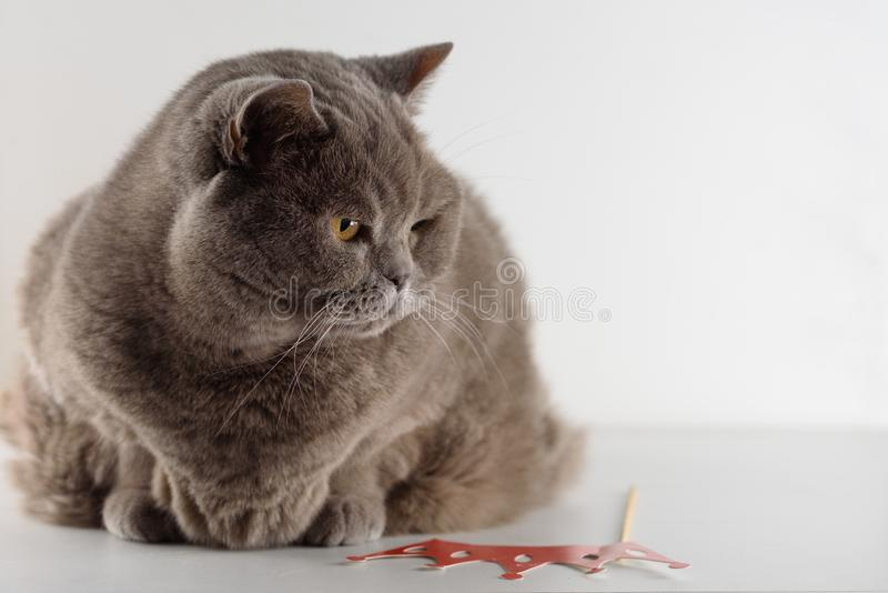 Gullig brittisk Shorthair för stående katt med ljusa orange ögon som ligger och att se ner på vit bakgrund arkivfoton