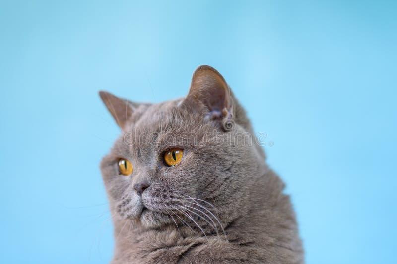 Gullig brittisk Shorthair kattst?ende p? bl? bakgrund arkivbilder