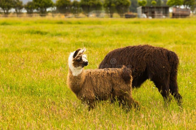 Gullig brun alpacaunge över grönt exponeringsglas royaltyfri bild