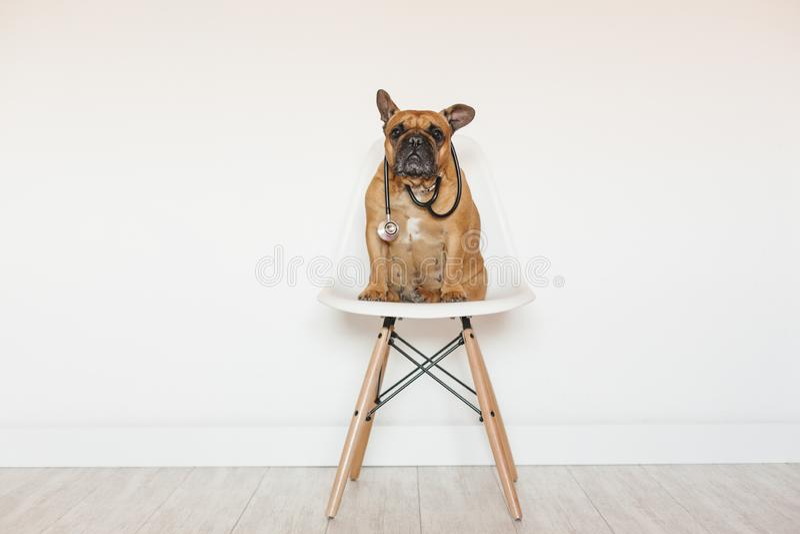 Gullig brun fransk bulldogg som hemma sitter på en stol Bära en veterinär- stetoskop Husdjuromsorg och veterinär- begrepp royaltyfri bild