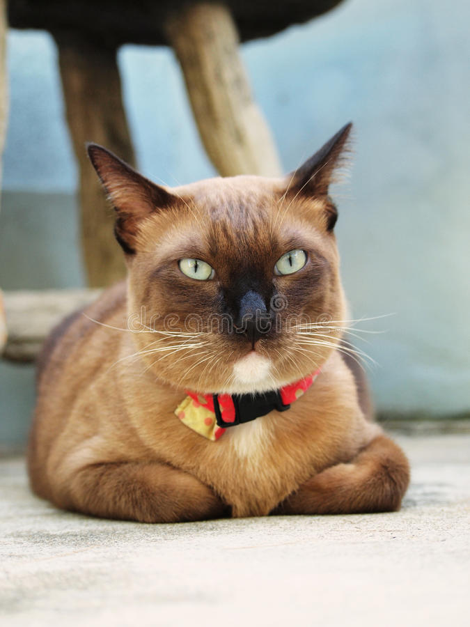 Gullig brun katt som ligger på golvet arkivfoto