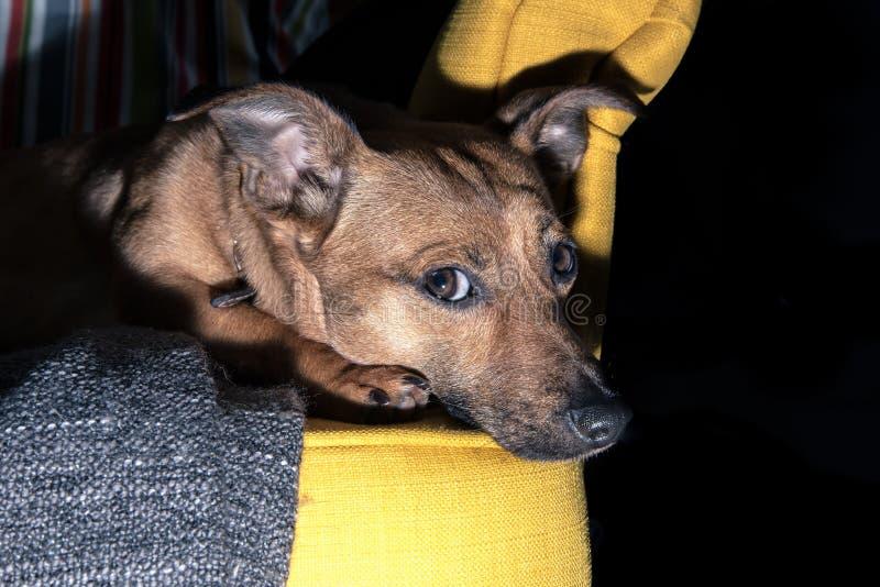 Gullig brun valp som sitter på en soffa - hundfotografi - favorit- husdjur - hund för blandat lopp, - byrackor royaltyfria foton