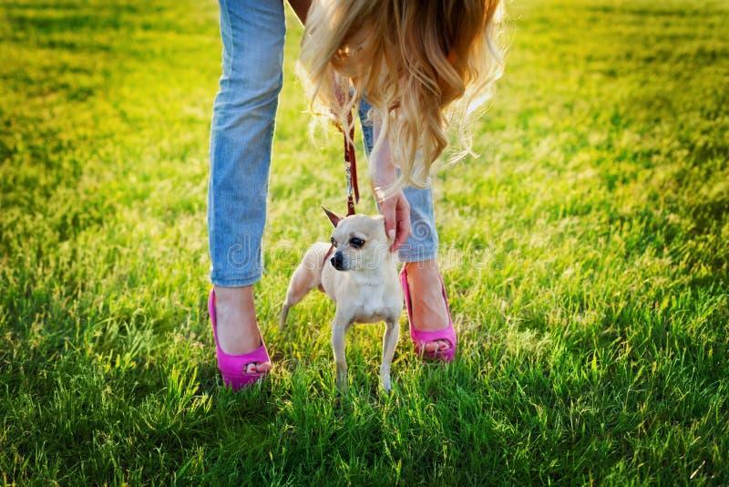 Gullig chihuahuavalphund med den unga glamourflickan som går på grön gräsmatta på solnedgången, modegatastil royaltyfri foto