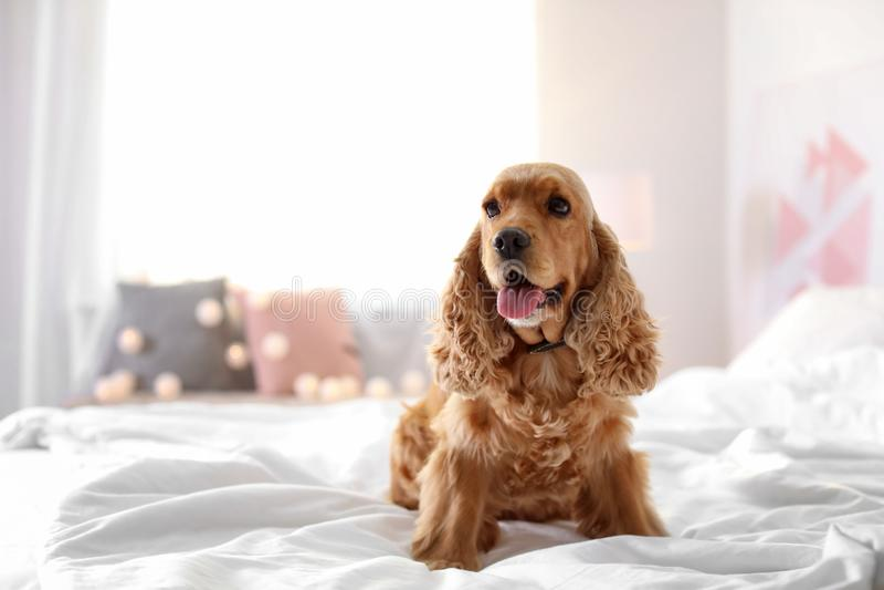 Gullig Cocker Spaniel hund på säng hemma royaltyfria foton