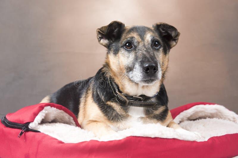 Gullig Corgihund som kopplar av i en väl till mods säng royaltyfria foton