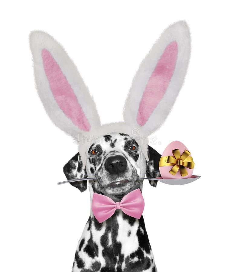 Gullig dalmatian hund med kaninöron och det easter ägget Isolerat på vit royaltyfria foton