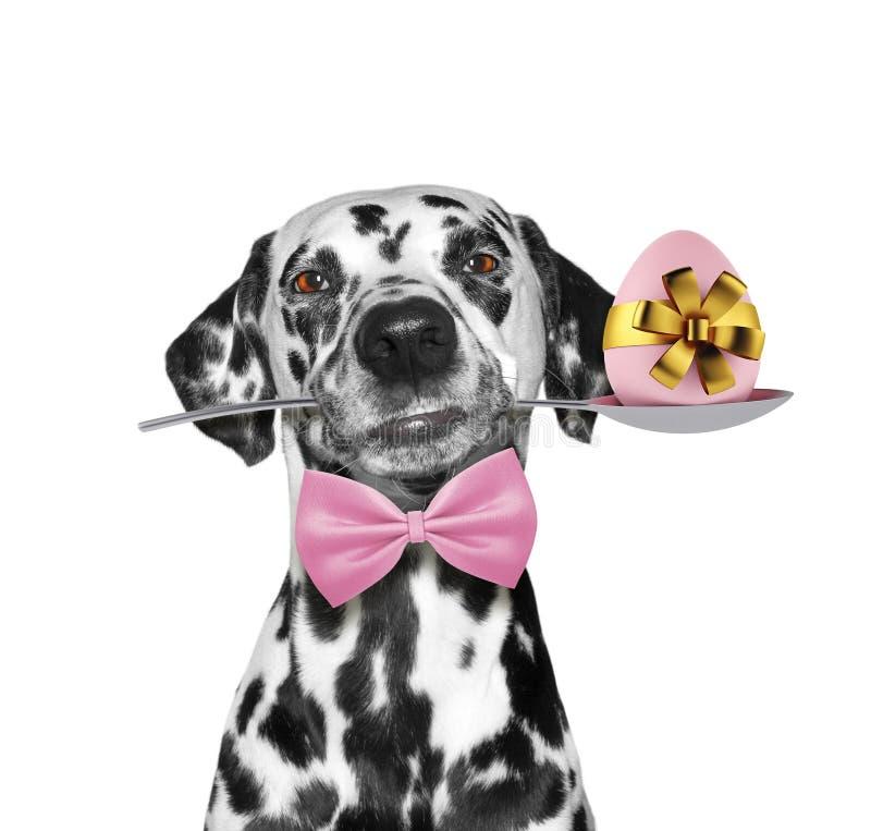 Gullig dalmatian hund med skeden och det easter ägget Isolerat på vit royaltyfri bild