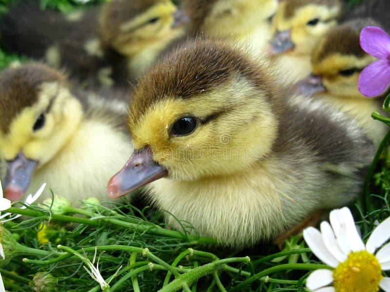 gullig duckling arkivfoton