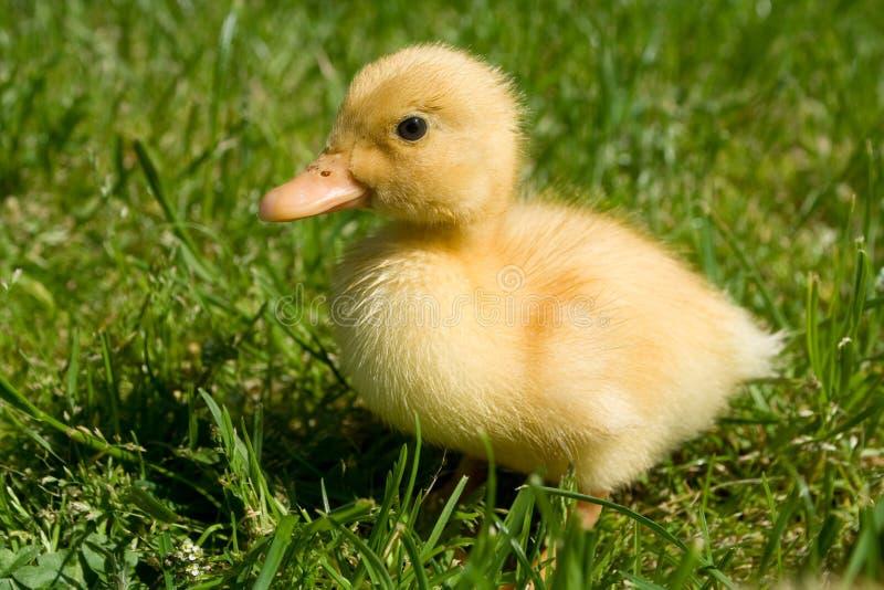 gullig duckling little royaltyfri foto