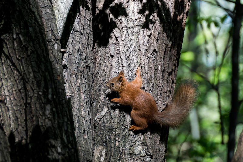 Gullig ekorre i skog royaltyfri fotografi
