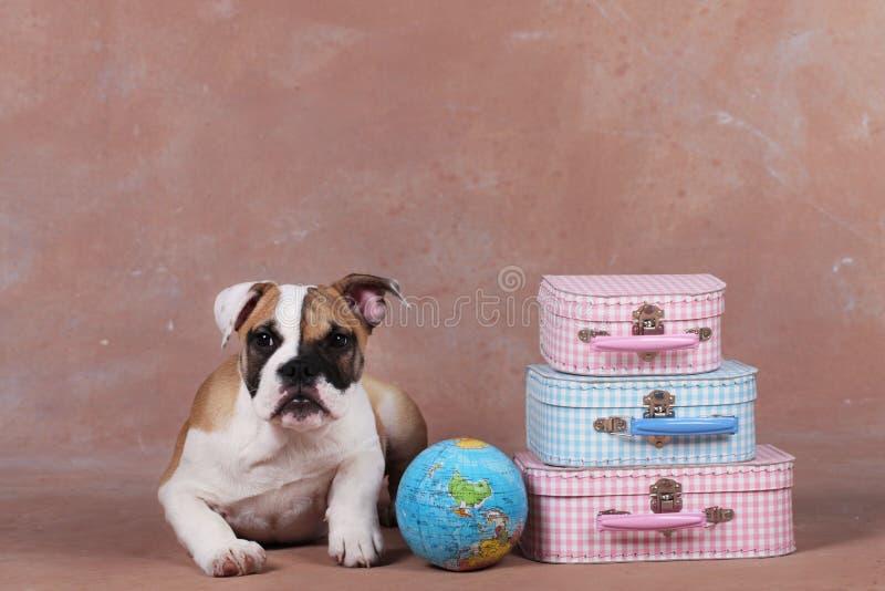 Gullig engelsk bulldoggvalp bredvid resväskan royaltyfri foto