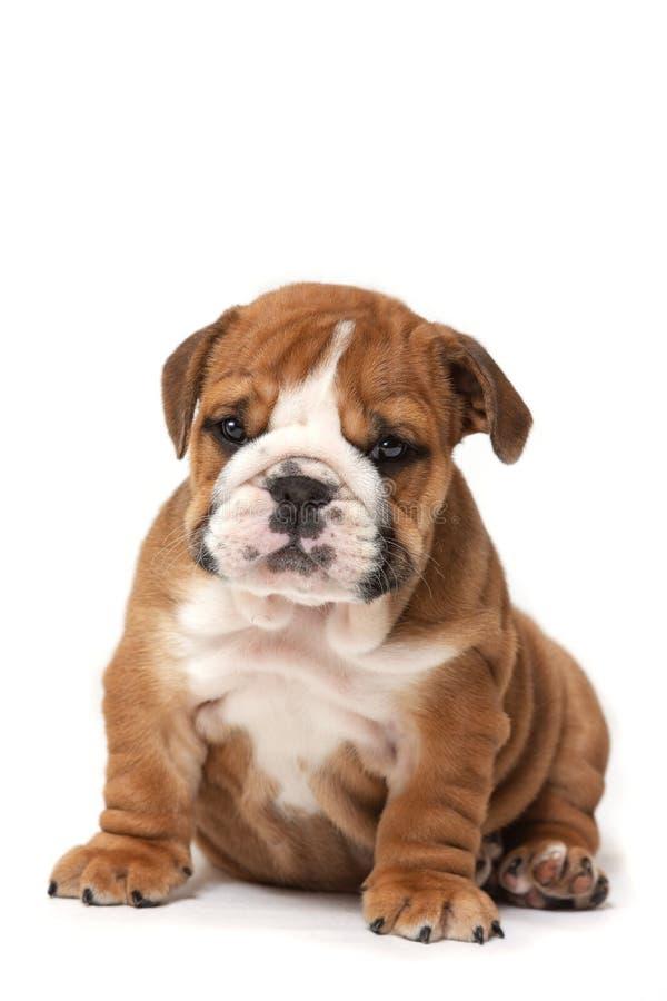 Gullig engelsk bulldoggvalp som ner sitter, huvud royaltyfri fotografi