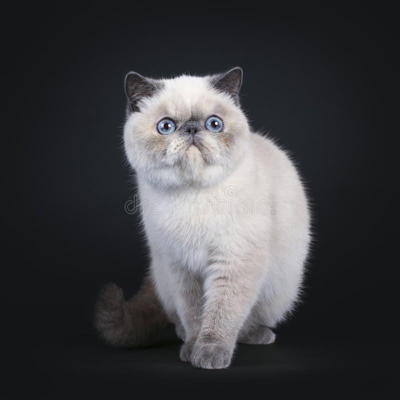 Gullig exotisk Shorhair katt på svart arkivbild