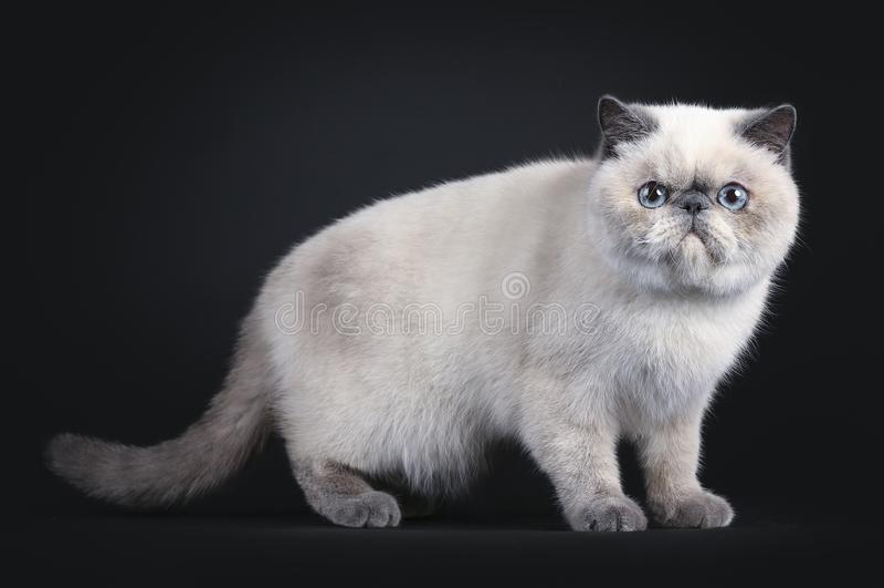 Gullig exotisk Shorhair katt på svart fotografering för bildbyråer