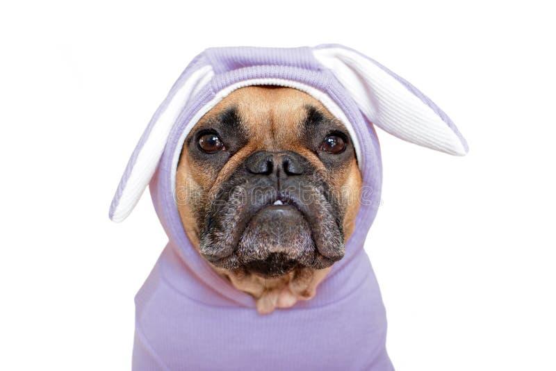 Gullig för hundflicka för fransk bulldogg uppklädd i roligt ljus - violett dräkt för easter kanin med öron på vit bakgrund royaltyfri foto