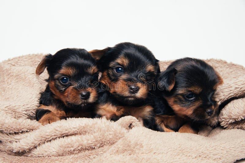Gullig för yorkshire för tre pupies lögn terrier på mjuk kull royaltyfria foton
