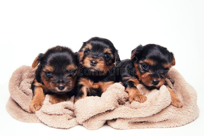 Gullig för yorkshire för tre pupies lögn terrier på mjuk kull royaltyfri bild