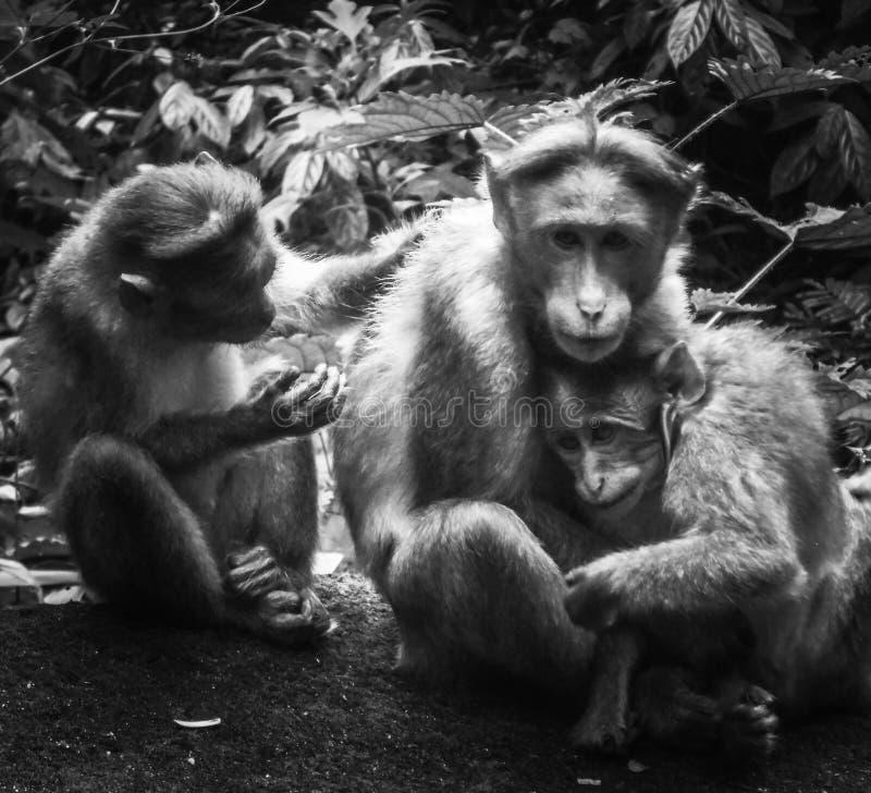 Gullig familj av att ansa apor arkivfoto