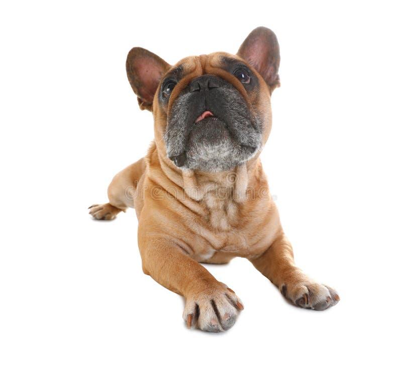 Gullig fransk bulldogg på vit roligt husdjur arkivbilder