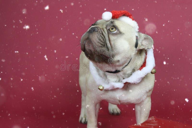 Gullig fransk bulldogg som bär en jultomtenhatt royaltyfri foto